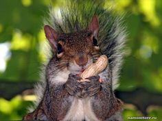 Белочка с орехом фото, белки, животные - Разные животные - Обои для рабочего стола