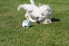 Learn about the West Highland White terrier breed, its personality, its health problems, and how to go about choosing one for your home.