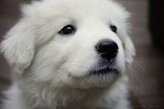 Cracker, my Great Pyrenees puppy
