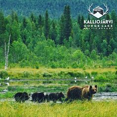🐻 watching is great👏 Big thanks for Karhu-Kuusamo Oy and Aurorahut for this great experience ✨ Aurorahut is provider of the superb glass huts for observing arctic nature during all seasons 👀 Santa's Village, Arctic Circle, Flora And Fauna, Finland, Wilderness, Landscapes, The Incredibles, Seasons, Big