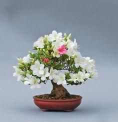 Kusamura is a bonsai club of California, developing the art of bonsai in the Palo Alto area. Flowering Bonsai Tree, Bonsai Tree Types, Bonsai Art, Bonsai Garden, Ikebana, Minis, Mame Bonsai, Cute Good Night, Apartment Plants