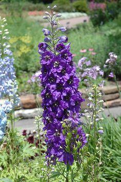 Magic Fountains Purple Larkspur (Delphinium 'Magic Fountains Purple') at Satellite Garden Centre