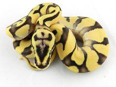 Triton - Morph List - World of Ball Pythons Lizards, Reptiles, Python Royal, Python Regius, Ball Python Morphs, Cute Snake, Beautiful Snakes, Gardening Hacks, Rare Animals