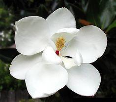 Magnolia Flower - Faizan Farms
