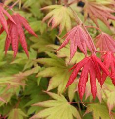 Acer shirasawanum 'Moonrise' | Fine Gardening