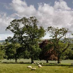 Sheep Grazing Longueville House Blue Books, Sheep, Ireland, Golf Courses, Scenery, Gallery, Plants, House, Landscape