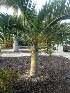 Buccaneer Palm, Pseudophoenix sargentii, a south Florida native. Very attractive and tropical looking palm. Slow growing and smaller in scale than most.