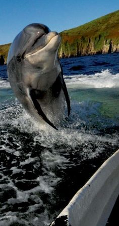 In Ireland our celebrities tend to be a little bit different. Say hello to Dingle's most famous resident: Fungi the Dolphin.