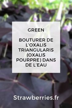 Bouturer de l'Oxalis Triangularis (Oxalis Pourpre) dans de l'eau - Strawberries Oxalis Triangularis, Air Plants, Cards Against Humanity, Blog, Green, Gardens, Hydrangea Garden, Plant Cuttings, Water