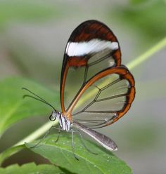 The Incredible Glasswing Butterfly. A butterfly with transparent wings? Surely not. Yet there is a species that exhibits this trait. Take a close look at the incredible Glasswing, an enchanting species that confounds science. Beautiful Bugs, Most Beautiful Animals, Beautiful Butterflies, Beautiful Creatures, Amazing Nature, Simply Beautiful, Irises, Rare Animals, Unusual Animals