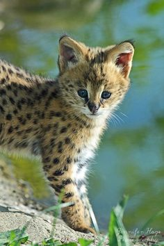 "Serval Kitten - The name Serval is derived from a Portuguese word meaning ""wolf-deer."" The Servals are a small cat species that inhabits the jungles and the plains of Morocco, Algeria and South Africa and are bred domestically and raised as pets."