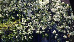Omenapuu kukkii tuhansin kukkasin