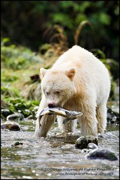 """Spirit Bear"" by Iain Williams – Coastal British Columbia, Canada. The Kermode Bear is a sub-species of the American Black Bear living deep within the temperate rainforests of British Columbia. Often referred to as the Spirit Bear due to its creamy-white coloring (not caused by albinism, but a recessive allele), it's estimated that there are between 400-1000 individuals in the wild. The bear owes its survival to the indigenous people who never hunted it or mentioned it to early fur trappers."