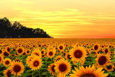 Check out this awesome collection of Yellow Aesthetic Computer wallpapers, with 59 Yellow Aesthetic Computer wallpaper pictures for your desktop, phone or tablet. Yellow Flower Wallpaper, Sunflower Wallpaper, Yellow Flowers, Wild Flowers, Flowers Nature, Field Wallpaper, Sunflower Pictures, Sunflower Fields, Felder