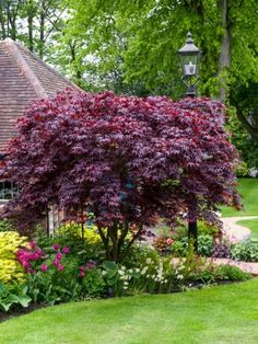 Bloodgood Japanese Maple Acer palmatum 'Bloodgood' (ideas for plantings beneath) Garden Yard Ideas, Landscape Trees, Garden Design, Front Walkway Landscaping, Grasses Landscaping, Small Backyard Landscaping, Maple Tree Landscape, Backyard Landscaping Designs, Shrubs For Landscaping