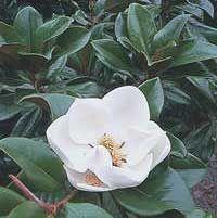 Magnolio, Magnolia.