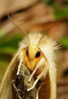 irkajavasdream:  Tussock Moth (Lymantriinae) by itchydogimages on Flickr.