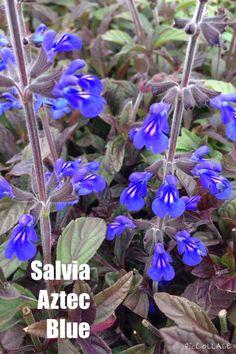 SALVIA aztec blue