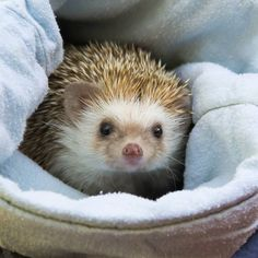 Nutritious diet for your pet hedgehog will ensure you that you will be having a healthy and happy companion for years.