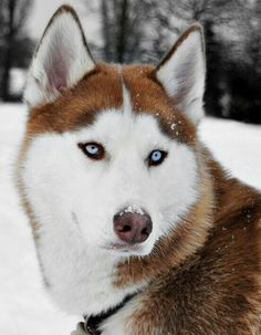 Artist Stephen Kline has collected a variety of dog and people images. Please visit his gallery at www.drawDOGS.com where you'll find over 110 breeds of dogs drawn from just words, including the Siberian Husky.