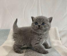 Y3- YAMATO DOS AGUAS Cattery, British Shorthair, Cats, Animals, Gatos, Animales, Animaux, Animal, Cat