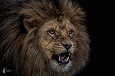 Lion-Face - https://www.fb.com/FotostyleSchindler