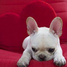 'I Wuv U', French Bulldog Puppy, ❤, via Batpig & Me Tumble It.