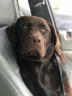 """Excellent """"chocolate Labrador"""" information is readily available on our website. Black Lab Puppies, Cute Puppies, Cute Dogs, Dogs And Puppies, Labrador Chocolate, Chocolate Lab Puppies, Labrador Retrievers, Retriever Puppies, White Golden Retriever Puppy"""