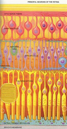 Layers of the retina