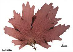 Plyneura bonnemaisonii