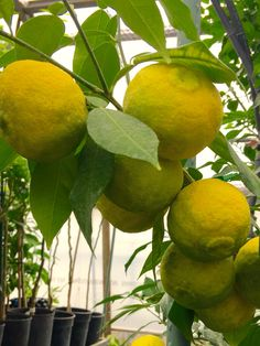 Yuzu; citrus junos