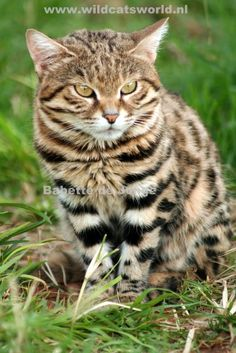 Black-footed cat Small Wild Cats, Big Cats, Cool Cats, Beautiful Cats, Animals Beautiful, Rusty Spotted Cat, Black Footed Cat, Toyger Cat, Cat Magazine