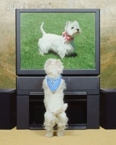 Original Pinner Comment: Lola is the only Westie we have had who watches TV with us.