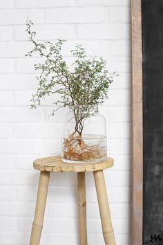 Pagodipuu ja juuret maljakossa