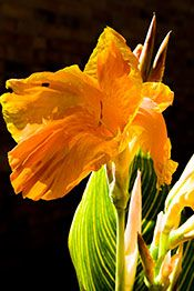Tropicanna® Gold canna lily (Canna x generalis 'Tropicanna Gold') is not hardy in the Chicago area (USDA Zones 7 – 11), but still deserves a place where her elegantly-striped green and gold foliage, topped by soft, orange flowers edged in bright yellow provide a tropical ambience. This cultivar can be grown as an aquatic, or in a traditional flower bed in full sun (to maximize flower production) or light shade (utilizing the variegated foliage to lighten dark spots in the garden).