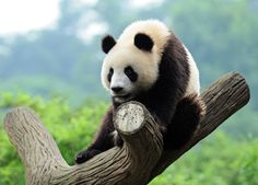 Surprising Discovery Shows Pandas Have Memories That May Rival Yours