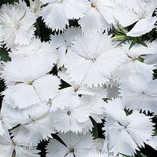 pink, white (dianthus)...ingeniousness, talent