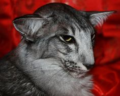 Oriental longhair cat as seen on the Oriental Cat Breeder website.