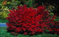 Winged Euonymus - burning bush