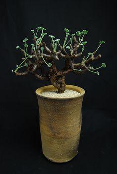 ペラルゴニューム ミラビレ Pelargonium mirabile