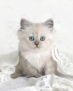 Biscott (Ragdoll and Tiffany) Softer than silk and finer than lace (pic by Rachael Hale)