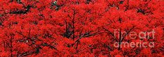 #Flaming #Red Panorama II by #Kaye_Menner #Photography Quality Prints Cards Products at: http://kaye-menner.pixels.com/featured/flaming-red-panorama-ii-by-kaye-menner-kaye-menner.html