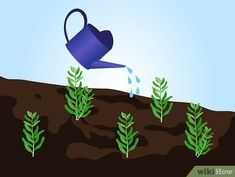 Image titled Grow Lavender from Seed Step 19 Container Herb Garden, Container Gardening Vegetables, Vegetable Garden, Easy Garden, Lawn And Garden, Growing Lavender From Seed, How To Propagate Lavender, Go Green, Garden Projects