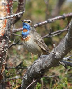 Red-spotted Bluethroat | Flickr - Photo Sharing!