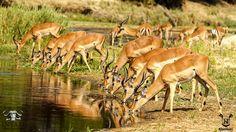 Impala herd at the Sand river #sabisands #inyatisafari #safarivacation #wildlifephotography #AmazingAfrica