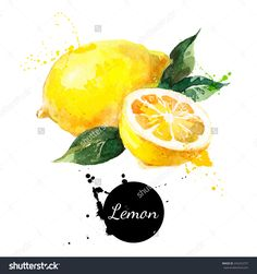 Illustration of Hand drawn watercolor painting on white background. Vector illustration of fruit lemon vector art, clipart and stock vectors. Lemon Painting, Lemon Watercolor, Watercolor Food, Watercolor Paintings Abstract, Fruits Drawing, Food Drawing, Fruit Illustration, Watercolor Illustration, Vegetable Drawing