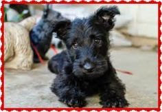 Rules of the Jungle: Scottish terrier puppies