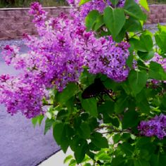 Lilac.bush....want at least 2 in our backyard.