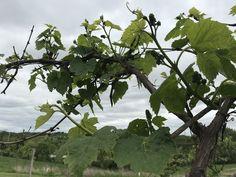 Vineyard, Fruit, Vine Yard, Vineyard Vines