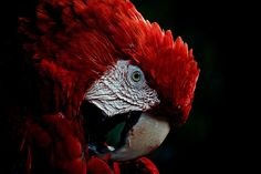 red feather.